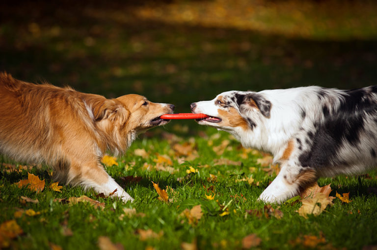 dogs wrestle over frisbee at rv campground