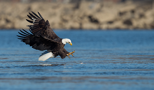 bald eagles seen from houseboat rentals